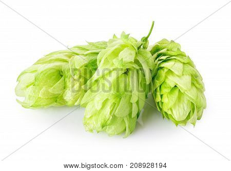 fresh green hop cones isolated on white background with clipping path. Ingredient for brewing