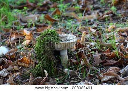 white mushrooms inedible immersed in nature and in the moss
