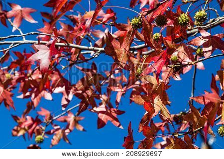 Fall leaves in bright red colors decorate branches along with seed pods against a bright blue sky.