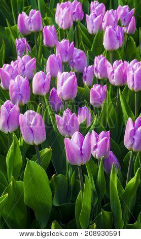 Purple tulips. Spring landscape. field of tulips. tulips flowers.
