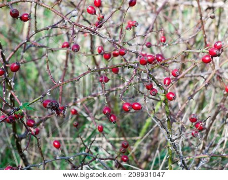 Several Red Fresh Ripe Rose Hips On Branches Autumn Fruits Berries