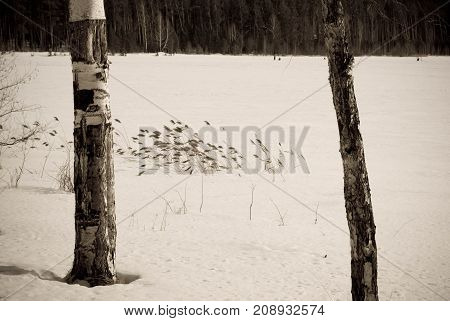 Winter meadow landscape with canes and birches, The Urals, Russia, Sepia photo