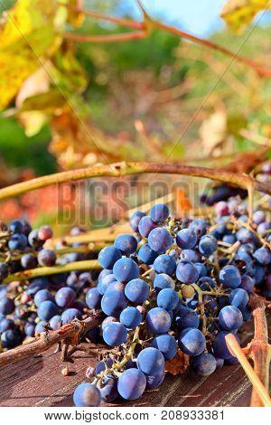 Ripe Blue Grape In Vineyard .