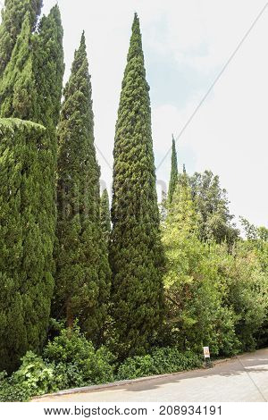 Cypress alley of the botanical garden. Lush vegetation of the Nikitsky Botanical Garden in the Crimea.