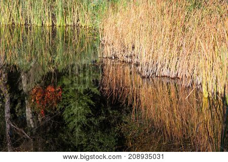 Golden ornamental grass is reflected along with trees in a large reflecting pond in a walking garden in fall.