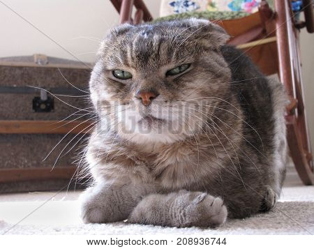Cranky Looking Cat With Paws Folded Looks at Camera