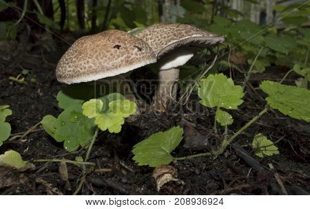 Few Young Mushrooms Grew Among The Grass