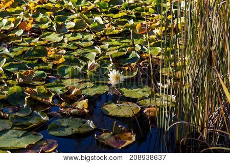 A white lotus bloom in the middle of a thick patch of lily pads floating on a calm pond.