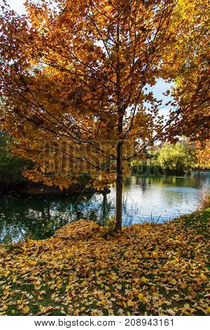 A tree next to a pond with bright yellow red and orange leaves on the tree and also on the green grass of the ground.