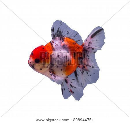 Calico oranda goldfish isolated in a white background