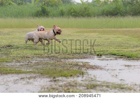 French Bulldog Excecise In The Field