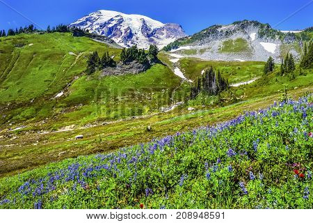 Blue Lupine Indian Paintbrush Wildflowers Mount Rainier Snow Mountains Paradise Mount Rainier National Park Washington Snow Mountain