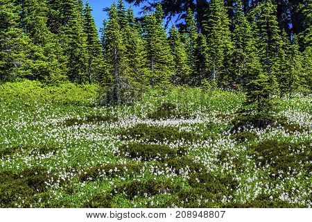 White Avalanche Lilies Erythronium montanum Wildflowers Mount Rainier National Park Paradise Pacific Northwest Washington State