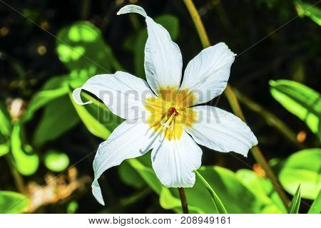 White Avalanche Lily Erythronium montanum Wildflower Mount Rainier National Park Paradise Pacific Northwest Washington State