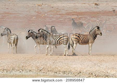 Plains zebras (Equus burchelli) in dust, Etosha National Park, Namibia