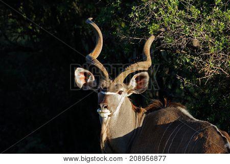Portrait of a big male kudu antelope (Tragelaphus strepsiceros), South Africa