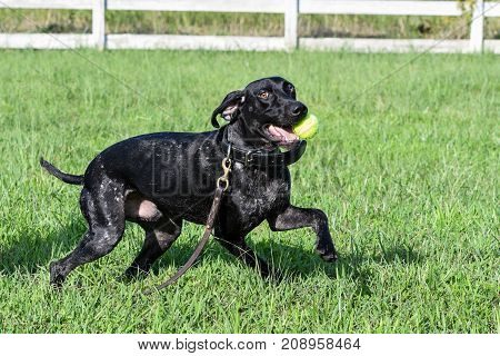 Black German Shorthaired pointer dog running with a ball in his mouth