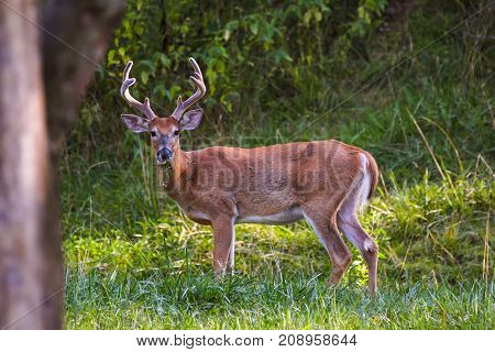 Whitetail buck deer standing in a grassy area. Antlers are in velvet