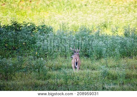 Whitetail buck deer standing in a thick grass area.