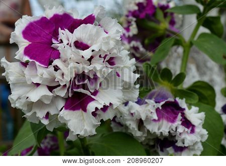blooming primrose in leaves of greens in the garden in the flowerbed