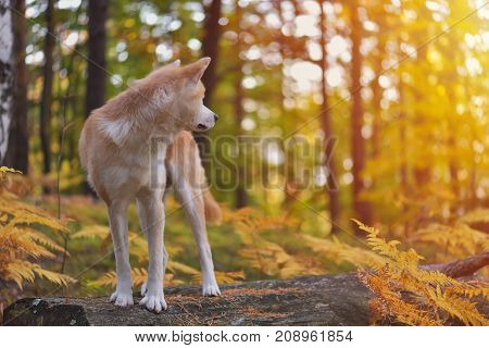 Funny Japanese Dog Akita Inu puppy in autumn forest looking back