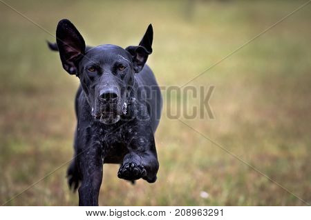German shorthaired pointer dog runs directly at camera