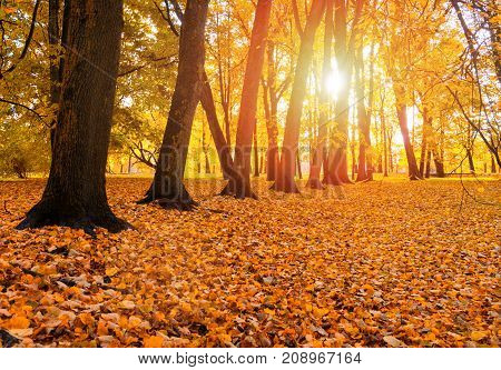 Autumn landscape view of autumn park at sunset. Row of autumn trees with fallen dry autumn leaves covering the ground. Autumn sunset landscape with autumn trees and fallen autumn leaves