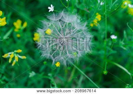 Fluffy seeds of a faded dandelion on the field.