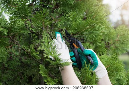 Close up shot of hands in protective gloves pruning tree or shrub using secateurs. Unrecognizable gardener doing maintenance work trimming decorative plant using pruners. Gardening and agriculture