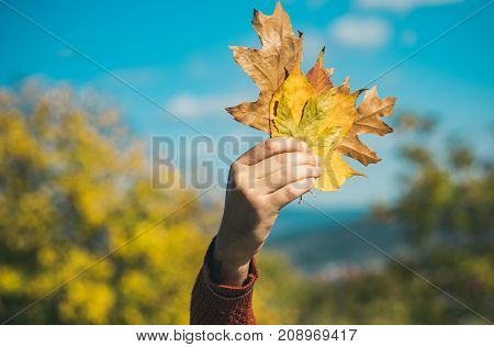 hand with natural yellow fall leaf sunny outdoor. leaves bunch on blue sky background. Season and autumn. Floral beauty and environment ecology. autumn leaves bouquet in male hand.