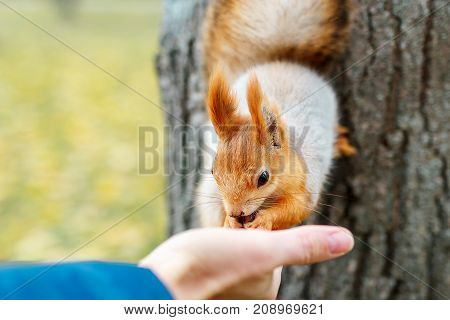 person feeds the squirrel. a funny squirrel eats from the palm of your hand. Feeding animals in the forest