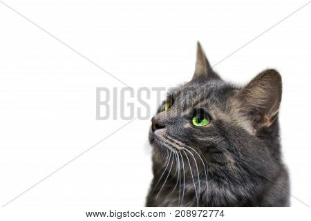 A beautiful gray cat with green eyes on a white isolated background looks to the side copy space