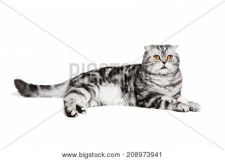 Portrait cat scottish fold sort on white background