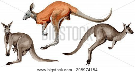 Exotic kangaroo wild animal in a watercolor style isolated. Full name of the animal: kangaroo, wallaby, wallaroo. Aquarelle wild animal for background, texture, wrapper pattern or tattoo.