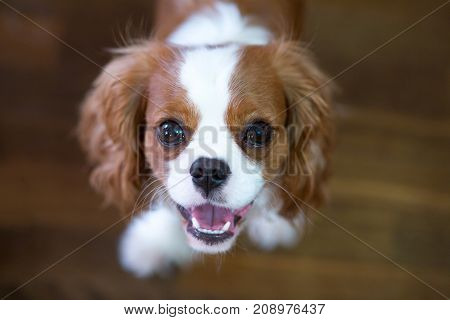Room Dog King Charles Spaniel With It Is Red - A White Color.