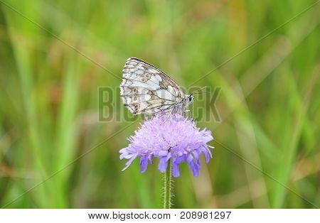 Colorful and crisp image of marbled white (Melanargia galathea)