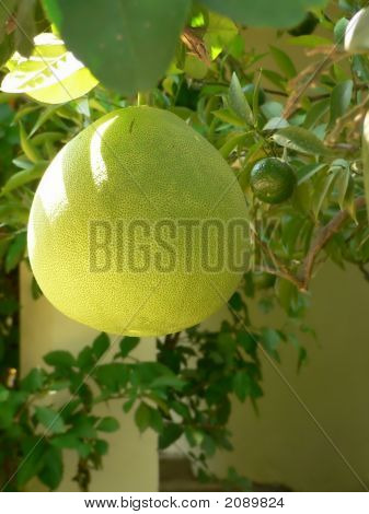 Grapefruit On Branch