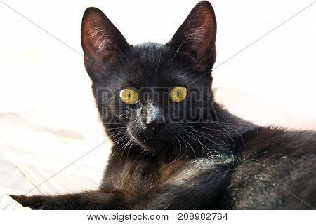 Portrait of black cat. Pet animal concept.