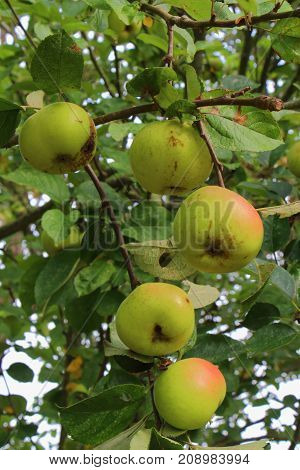 Red and green apples ripening on an apple tree in an orchard