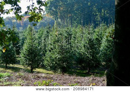 Christmas Tree Plantation In The Netherlands, Nordmann Fir Ready To Be Sold On Christmas Markt