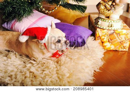 Chihuahua dog dressed in Santa hat, under the christmas tree, new year card