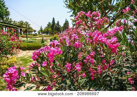 Oleander - A Beautiful But Poisonous Plant