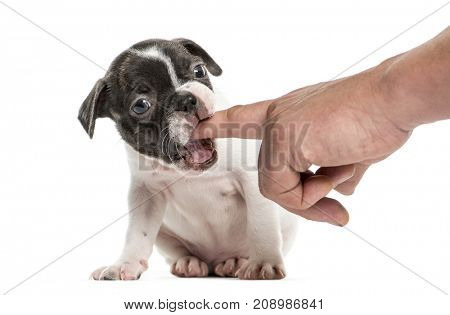 Boston terrier pup chewing a finger, isolated on white