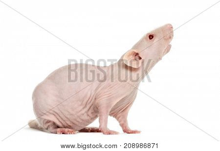 Pink hailess rat sniffing, isolated on white
