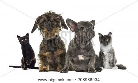 Group of dogs and cats sitting in a raw, isolated on white