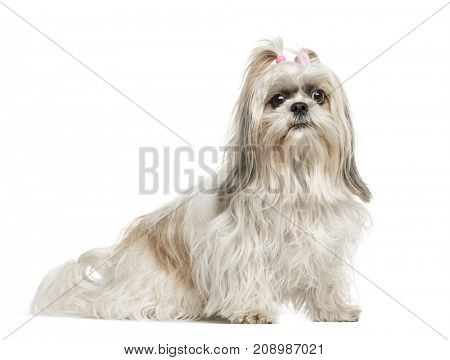 Dog, Shih tzu sitting, isolated on white