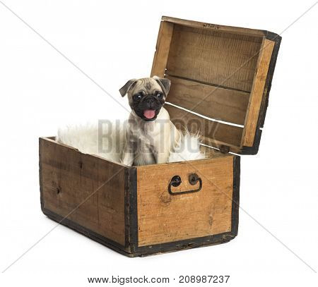Pug sitting in a wooden chest, isolated on white