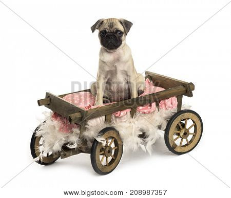Pug in a wooden cart with pillow and feathers, isolated on white