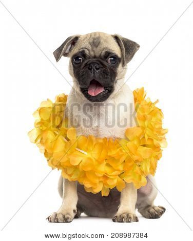 Dog, Pug sitting wearing a hawaiian lei, isolated on white