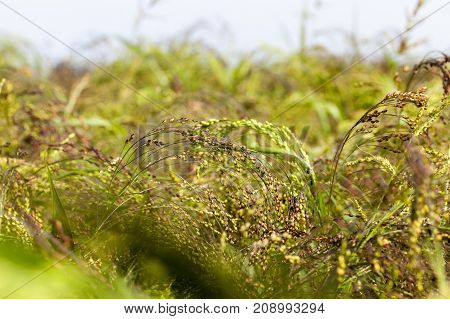 farm field on which grows green millet and grass. Photo closeup. Summer season